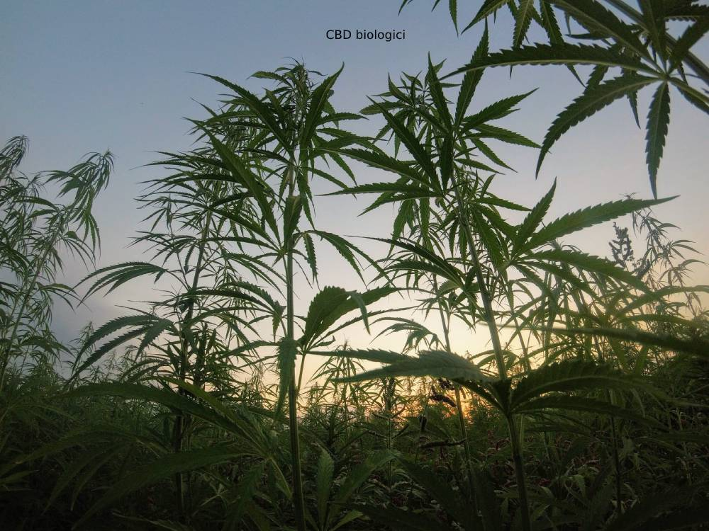 Non-GMO CBD